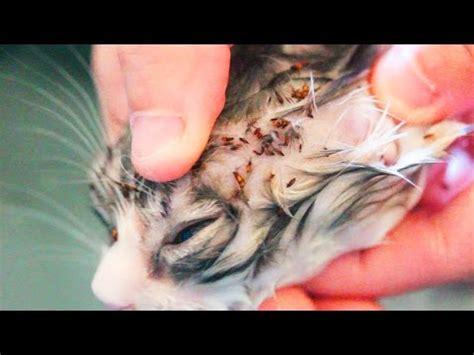 cat with fleas flea combs blame it on
