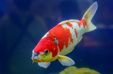 koi   fish  home garden ponds petmd