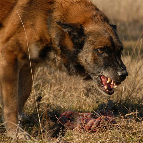 Hund Hat Pilz Im Garten Gefressen by Aggression Bei Hunden Warum Bei 223 En Hunde