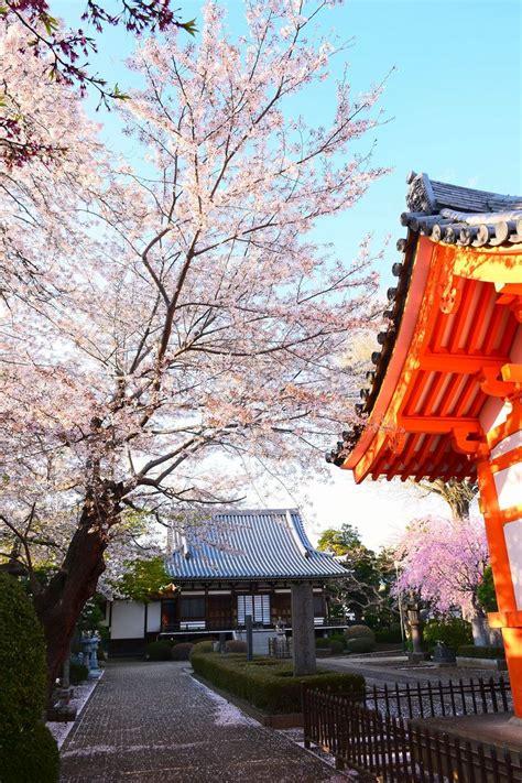 61 best images about cherry 17 best images about cherry blossoms in ichikawa 市川市の桜 お花見