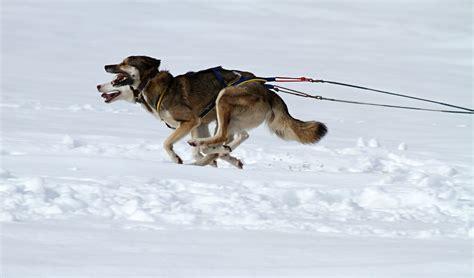 sled dog industry controversy dog international