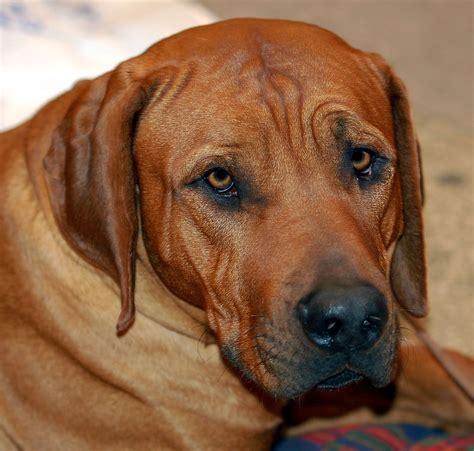 Tosa Razza Canina