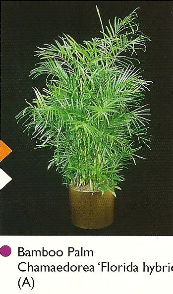 bamboo plants nyc our plants skyline plants office plant solutions