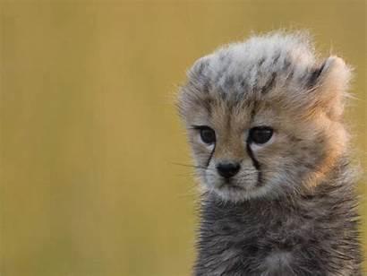 Leopard Animals Cheetah Cubs Animal Adorable Cutest