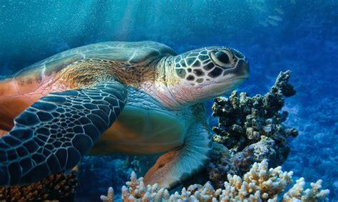 vasche tartarughe la grande tartaruga verde cuba chelonia mydas ospitata