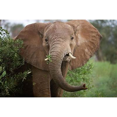 African Elephant Really Two Wildly Different Species
