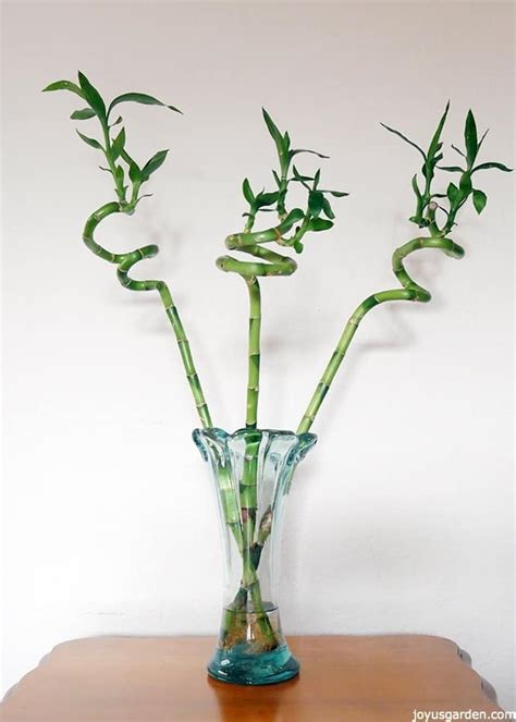 Lucky Bamboo Pflege lucky bamboo care tips a houseplant that grows in water