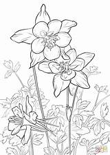 Coloring Rocky Mountain Columbine Pages Flowers Drawing Flower Drawings Printable Adult Sheets Buttercup Mountains Supercoloring Tattoo Silhouette Patterns Draw Illustration sketch template