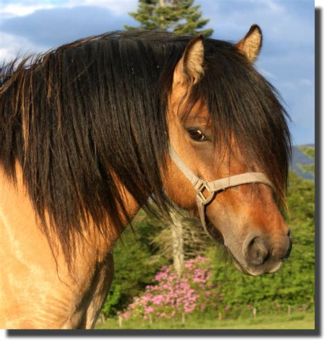 pony ponies highland horse breeds scotland highlands stallion fell foals breeder scottish colts offering yearling homestead