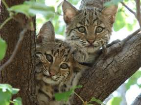 bob cats bobcats prowl among us haunt birdfeeders