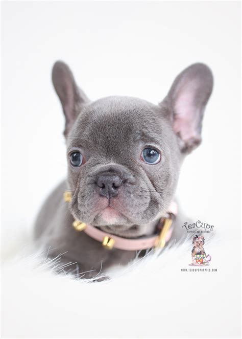 blue french bulldog puppies teacup puppies boutique