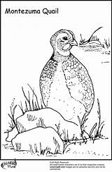 Quail Coloring Pages Bird Ministerofbeans Chicken Higher Than sketch template