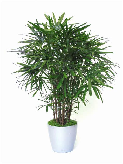 natural plants rhapis excelsa  alphaplantes
