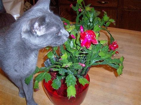 are christmas trees poisonous to cats 1000 images about cactus on cactus cactus and cactus