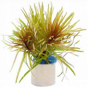 Ludwigia inclinata var. verticillata 'Cuba' - Cuban Ludwigia