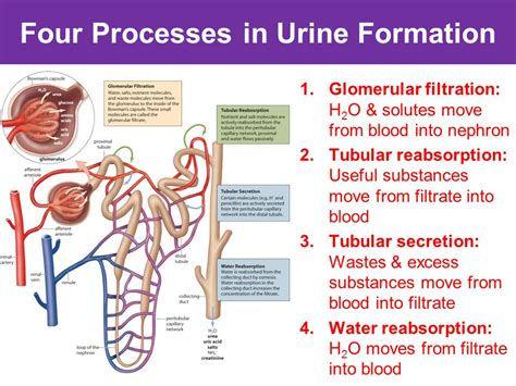 steps involved in urine formation what are the five steps for urine formation 2019 02