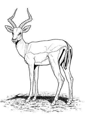 antelope coloring pages preschool  kindergarten safari animals giraffe illustration animals