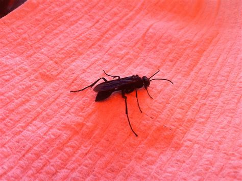 black winged insect bug yucky california