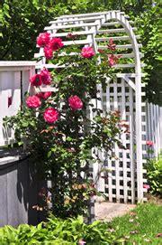 kletterrosen schneiden rosenbogen kletterrosen pflanzen pflege schneiden