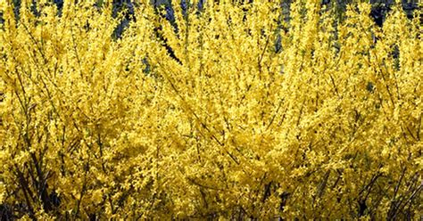 yellow blooming bushes yellow spring flowering shrubs ehow uk
