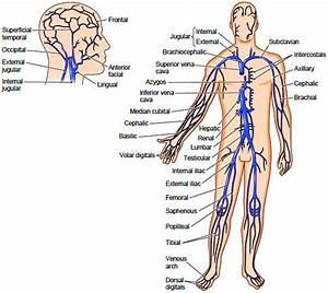 Systemic Veins Whereas Most Arteries Are Located In