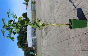 Bambus Braune Blätter : rhododendron braune bl tter eingerollt ostseesuche com ~ Frokenaadalensverden.com Haus und Dekorationen