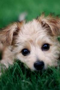 #morkie #dogs #cute   morkie1.com   Pinterest