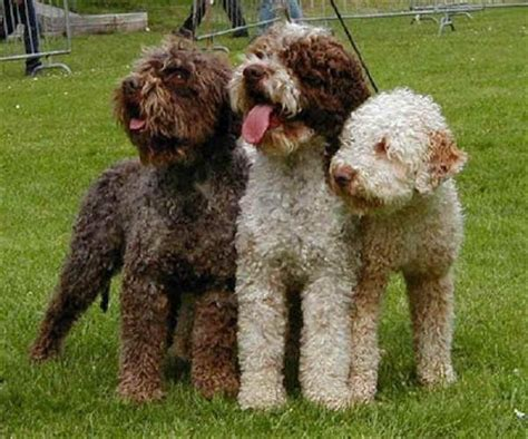 Non Shed Dogs Medium by Puppy Care Center Lagotto Romagnolo Romagna Water Dog