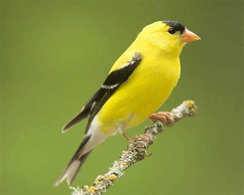 small yellow breasted bird texas