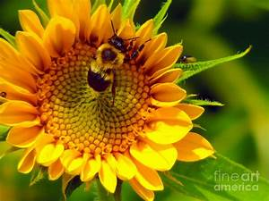 Bumble Bee Sunflower Photograph by Chad Currin