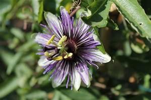 Floraison de passiflores Page 3 Au jardin forum de