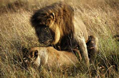 adw panthera leo pictures