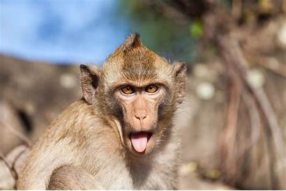 Monkey Rhesus Asia Animals Facts Sticking Tongue