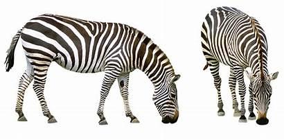 Zebra Animals Safari Africa Zoo Striped Nature