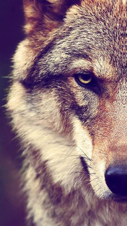 Wolf Iphone Wallpapers Backgrounds Wallpaperaccess 3wallpaper