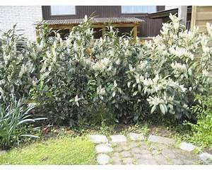 pflanzen set immergruner sichtschutz 39herbergii3939 3 stk With französischer balkon mit immergrüne pflanzen garten