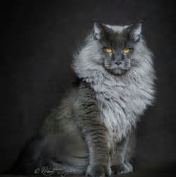 what of cats does this photographs maine coon cats and makes them look