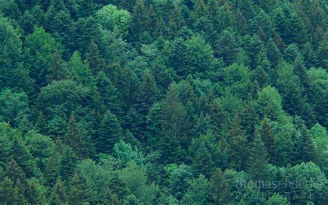 April 2014  'dawn On Evergreen Forest' Graubünden