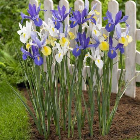 iris iris hollandica iris hollandica from