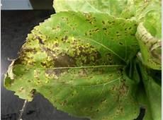Vegetable Diseases of the Week – 91313 — Plant & Pest