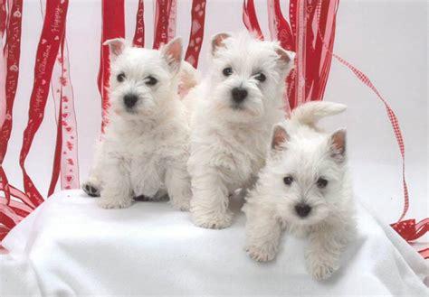 west highland white terrier puppies  sale akc puppyfinder