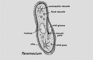Nutrition In Paramecium With Diagram