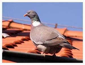 Auf Dem Dach : ringel taube auf dem dach foto bild tiere wildlife wild lebende v gel bilder auf ~ Frokenaadalensverden.com Haus und Dekorationen