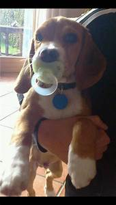 288 best images about Beautiful Beagles on Pinterest ...