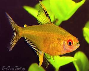 Buy Tetra Fish at AquariumFish where you can shop