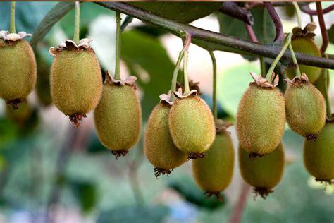 kiwi lagerung vitamine und naehrwerte migros impuls