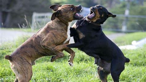 Rottweiler P De Perros Dogh Fight