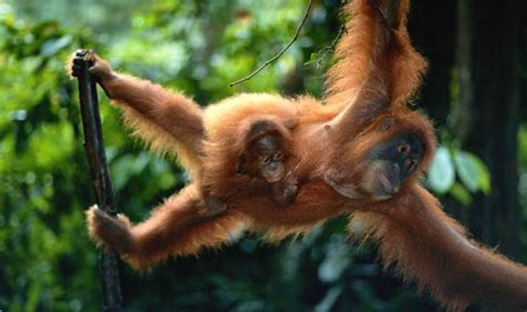 top 10 facts about orangutans express co uk