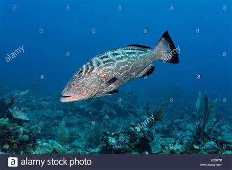 grouper reef fish swimming bonaci mycteroperca coral barrier knochenfisch alamy korallenriff schwimmen fische einem beute suche nach ueber shopping cart
