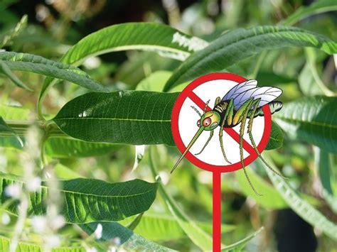 plante anti moustique exterieur les plantes anti moustiques des insecticides naturels jardin alsagarden le magazine